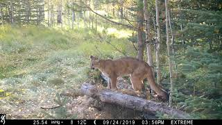 Cougar Sounds