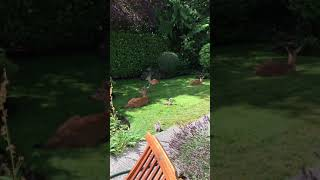 Four deer and four squirrels at my urban garden.