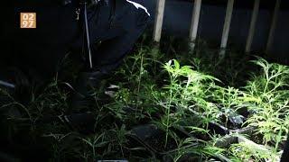 Ruim 1200 hennepplanten aangetroffen in Mijdrecht