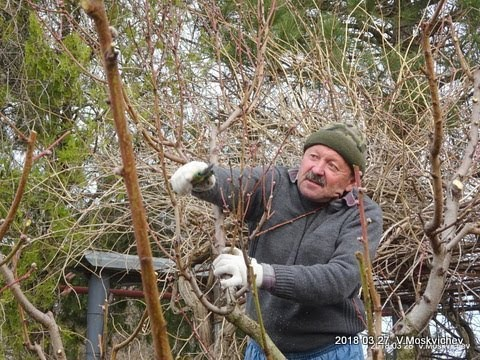 Обрезка персика  -  Советы садоводам  любителям  по обрезке и уходу за персиком.