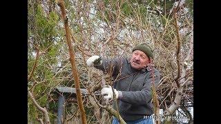 Смотреть онлайн Уход и обрезка молодого персика весной