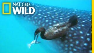 Watch a Diving Bird Pluck a Suckerfish Off a Shark | Nat Geo Wild