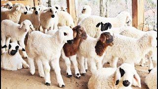 Sheep Lamb Gathering, Lamb sound, Sheep   - YouTube