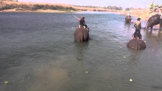 preview picture of video 'Elephant Bathing Chitwan National Park Nepal'