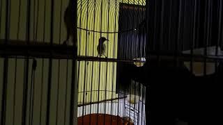 Konin Betina Gacor Buat Terapi Konin Jantan Macet #kicaumania #suarakicau #burung #kolibri #ninja #b