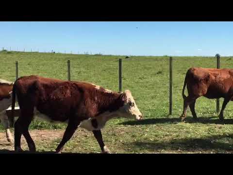 Afiche 35 Vacas preñadas  - Artigas