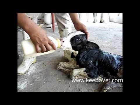 , title : 'Feeding Calf Colostrum to a Newborn Calf