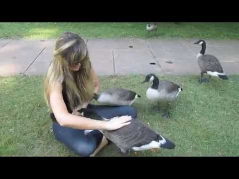""", title : '""""Growing Up Gosling"""" - My 6 Months Befriending a Family of Wild Canada Geese & Goslings"""