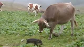 Ärger keine Kuh auf der Weide -Feldberg im Schwarzwald