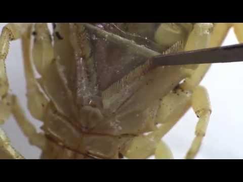 Bawang paglilinis ng parasites litrato