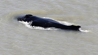 video: Watch: Humpback whales spotted swimming in Australian river