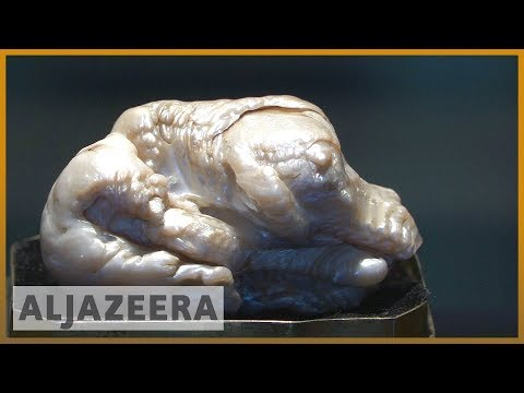 🇳🇱 World's largest freshwater pearl put up for Dutch auction   Al Jazeera English