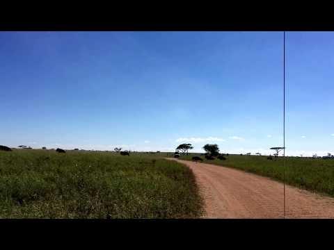 Wildebeests crossing the road in Serengeti