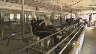 Once-Booming New York Dairy Industry Now Struggling To Survive