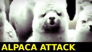 Alpaca Attack! Alpacas As Cute As They Look?