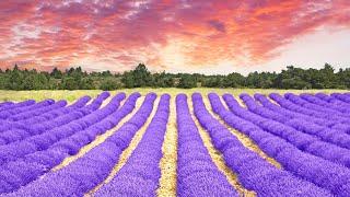 Lavender Farm Tour & Wedding Venue In Texas (2020)
