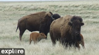 Bison Calving - Grasslands National Park powered by EXPLORE.org