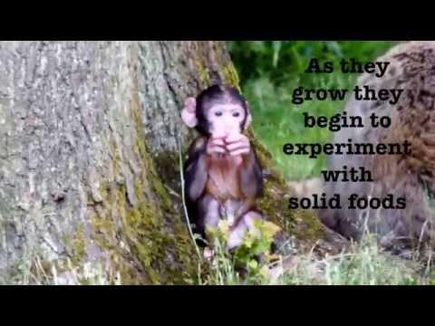 Trentham Monkey Forest baby monkeys - Baby Cam: Week 8