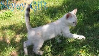 шикарный бенгальский котенок из питомника, продажа