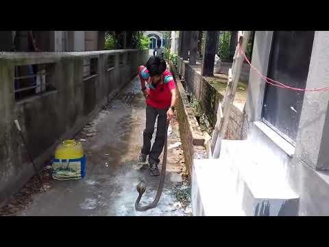 catche a cobra in dangerous situation king kobra
