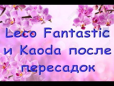 ОРХИДЕИ после ПЕРЕСАДОК:Leco Fantastic,Kaoda (Леко Фантастик,Каода)