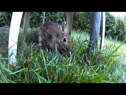 Video Bunny nest in our yard