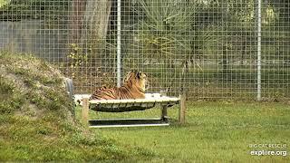Simba on the hammock, Explore.org Big Cat Rescue VR Dec 12