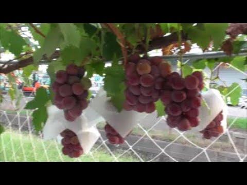 , title : '外見が鮮紅色で果粒が大きいブドウの品種「クイーンニーナ」