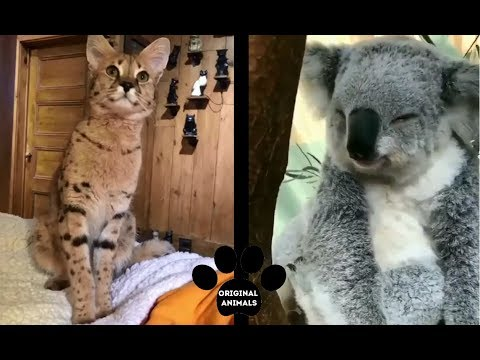 Original Animals #7. CUTE AND FUNNY ANIMALS VIDEO/ МИЛЫЕ И СМЕШНЫЕ ЖИВОТНЫЕ.