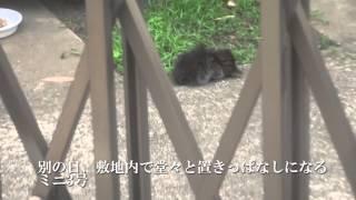 【キジトラ地獄】母キジトラ、子猫を放り出してオス猫とちちくりあう The Brown Tabby Mother And Her Kitten