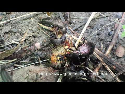 ハネカクシがマイマイガの幼虫を襲った