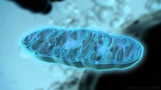 How Mitochondria Produce Energy