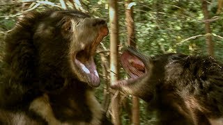 Deadly Sloth Bears Fight over Food | Earth Unplugged