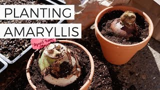 Planting Amaryllis Bulbs in Pots for Christmas // Forcing Amaryllis Bulbs to Bloom