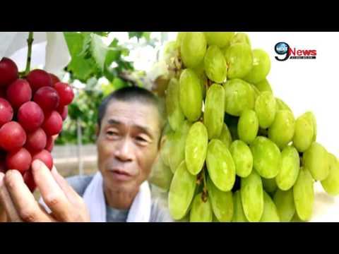 कैंसर का इलाज 24 घंटे में करती है ये चमत्कारी औषधि…! | Grape Seed Cures Cancer in 24 Hours: Research