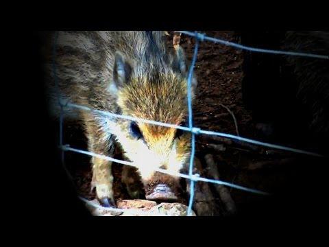 Master Theory - Wild Hog (Bar Divočák commercial)