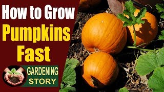 How to Grow Pumpkins Fast | Pumpkin Plant Growth Stages