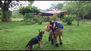Costa Rica Falcon Group International Security K-9 Patrol Dog and Canine Officer
