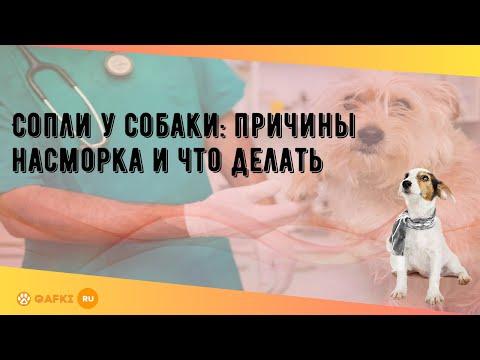 Сопли у собаки: причины насморка и что делать