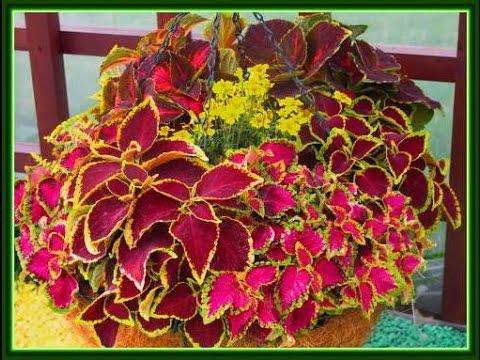 КОЛЕУС – цветная крапива. Красивое и неприхотливое комнатное растение