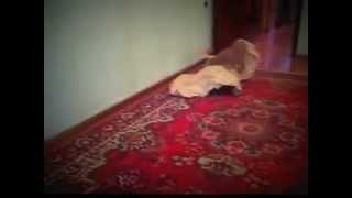 британские кошки, Кот Филя и бумага.