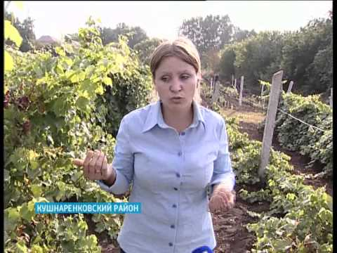 В Кушнаренковском районе состоялся праздник виноградной лозы