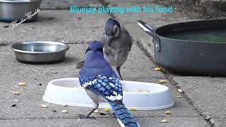 Bluejay playing with his food! Hiding a peanut!