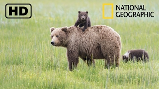 NATIONAL GEOGRAPHIC - Дикая природа Аляски! Бурые медведи и обилие вулканов! (09.02.2017)