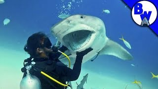 Tiger Shark Encounter – Director's CHOMP!