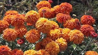 Хризантемы почтой на весну 2018.