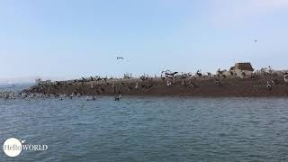 Scharenweise: Pelikane vor Paracas, Peru