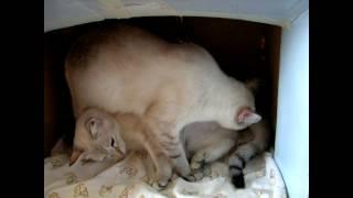 Сенсация! Кошка приняла роды у кошки - младшей подруги! Тайские кошки - это чудо! Funny Cats