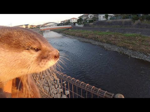 An Otter that shines in the morning glow [Otter life Day 146] 朝焼けに映えるカワウソ