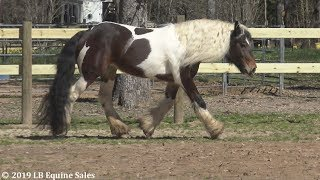 Gorgeous Gypsy Vanner Mare at Liberty- FOR SALE!